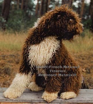 Light brown portuguese water dog - photo#9