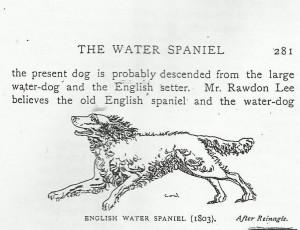 water_spaniel